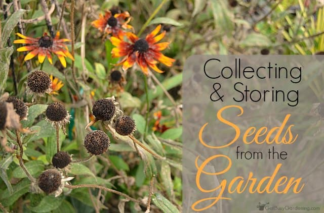 Collecting and storing seeds from the garden