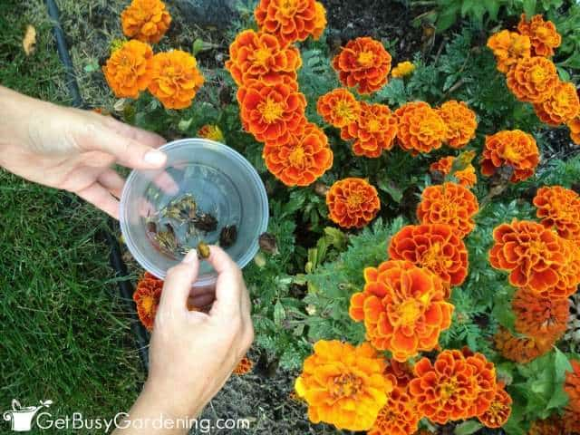 Collecting And Storing Marigold Seeds