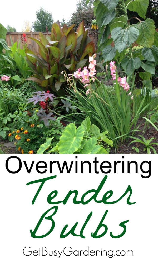 Overwintering tender bulbs isn't hard. With a little bit of dirty work, and a small amount of storage space, you can easily overwinter tender bulbs.
