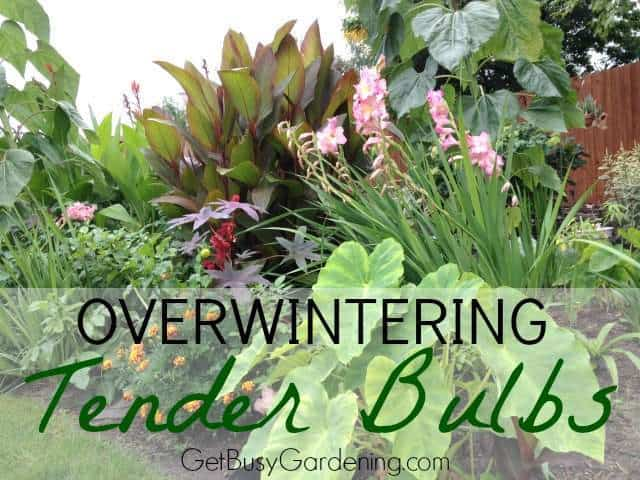 Overwintering Tender Bulbs