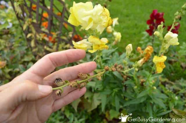 Saving Snapdragon Seeds From The Garden