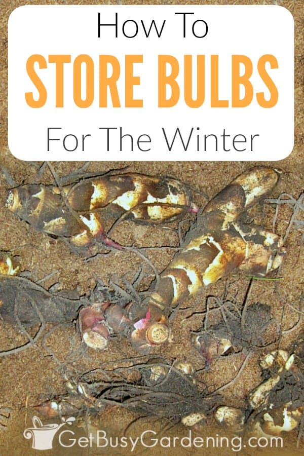 Tropical plants like cannas, dahlias, elephant ears and gladiolas are not hardy, and won't survive the winter outside in cold climates. But these tender summer bulbs can easily be overwintered indoors, and grown again year after year! Learn how to dig them out of your garden in the fall and get them ready for storage. Plus, get tons of tips for storing tender bulbs in pots or packed in boxes for winter.