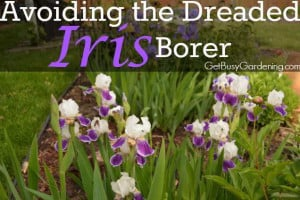 Avoiding the Dreaded Iris Borer