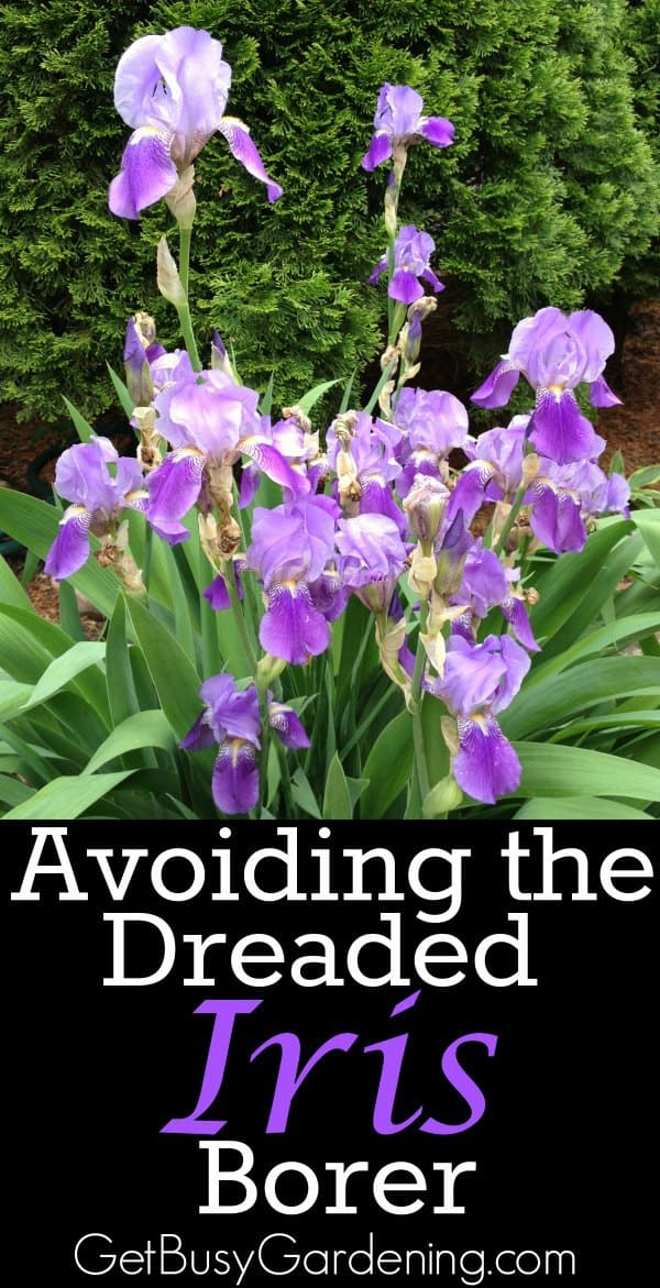 The iris borer is not a death sentence for your irises. It's really not that difficult to protect your irises from being damaged by the dreaded iris borer.