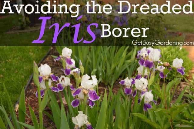 Avoiding The Dreaded Iris Borer