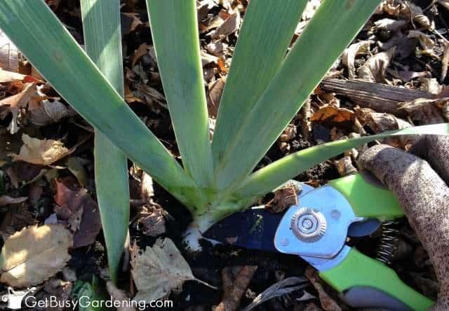 Cut Iris Foliage Down In The Fall