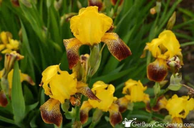 Gorgeous Blooming Irises