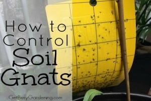 How to Control Soil Gnats