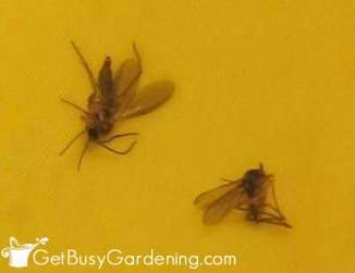 Soil Gnats In My Houseplants