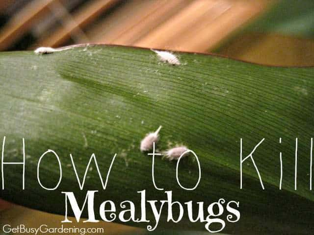 How To Kill Mealybugs