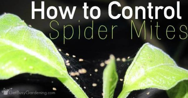 how-to-control-spider-mites-FB Webs On Houseplants on