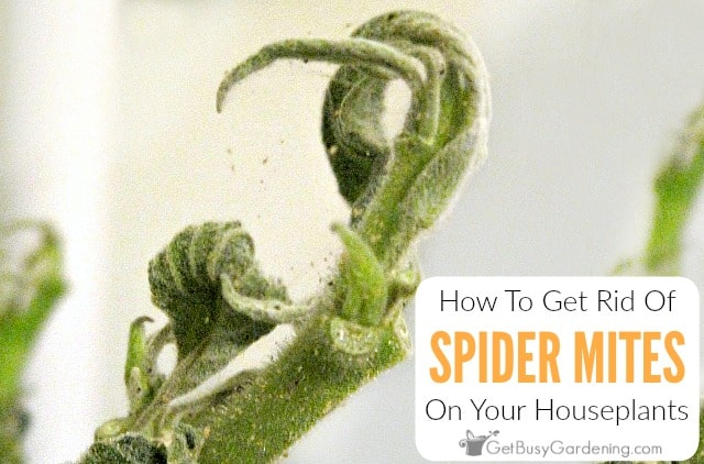 How To Get Rid Of Spider Mites On Houseplants, For Good!