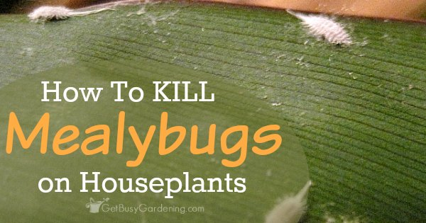 How to kill mealybugs on houseplants for How to stop spiders coming in your home