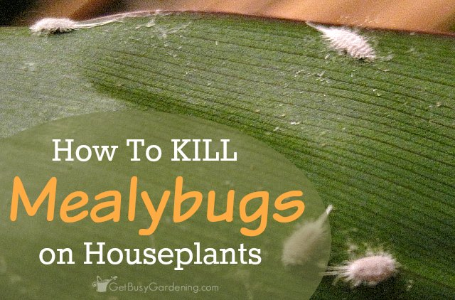 How to kill mealybugs on houseplants for How to stop spiders coming in your house