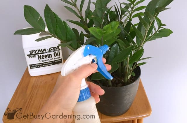 Use neem oil for controlling spider mites indoors