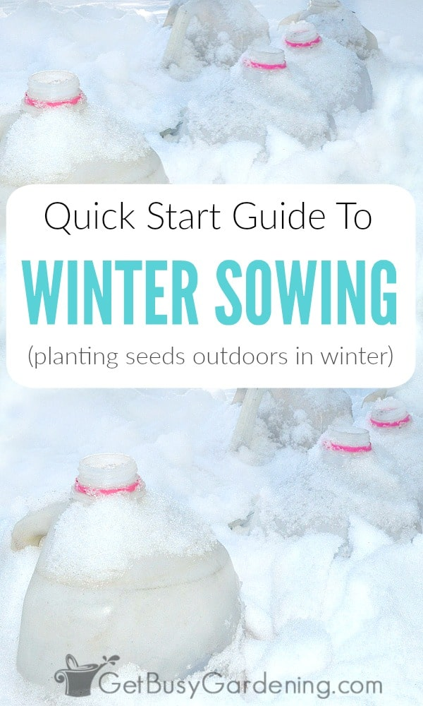 Winter sowing is an easy method of planting seeds outdoors during the winter in milk jug greenhouses. Winter sown seeds naturally germinate in the spring!