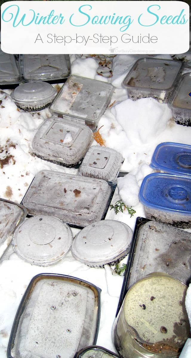 Winter sowing is an easy way to start seeds outside during the winter in miniature greenhouses made from recycled containers. Learn how to winter sow.