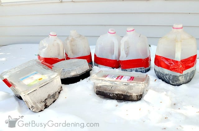 Winter sown seeds outdoors