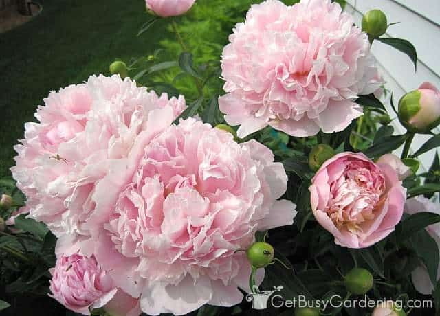 Beautiful light pink peonies