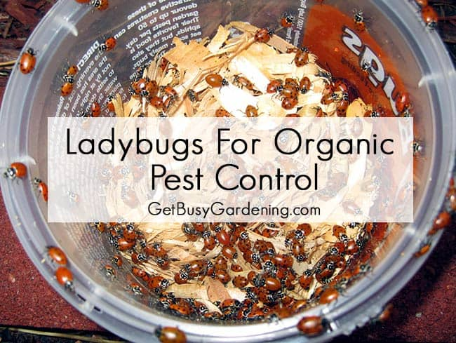 Ladybugs For Organic Pest Control