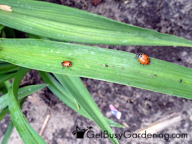 Ladybugs In The Garden