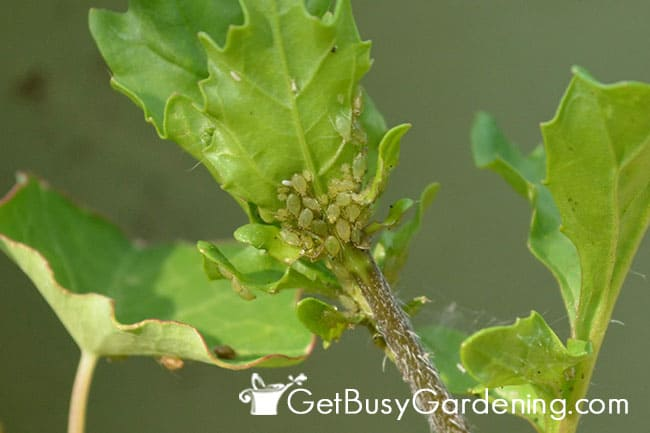 Lady bugs Love To Eat Aphids