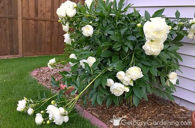 My peonies are falling over and need to be supported
