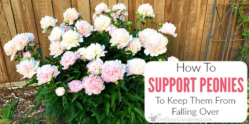 peony supports tips for how to keep peonies from falling over