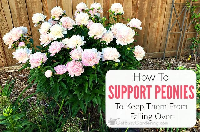 Peony Supports & Tips For How To Keep Peonies From Falling Over