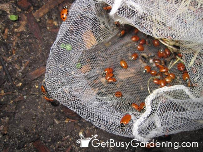 Releasing Ladybugs Into Garden
