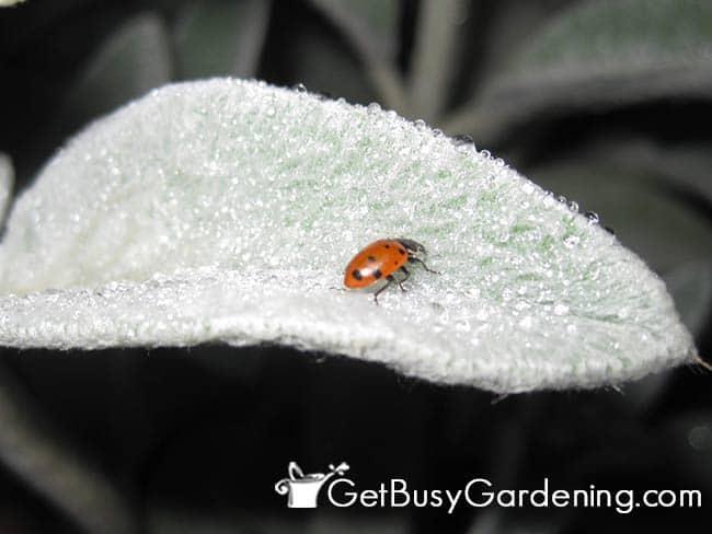Thirsty Lady bug