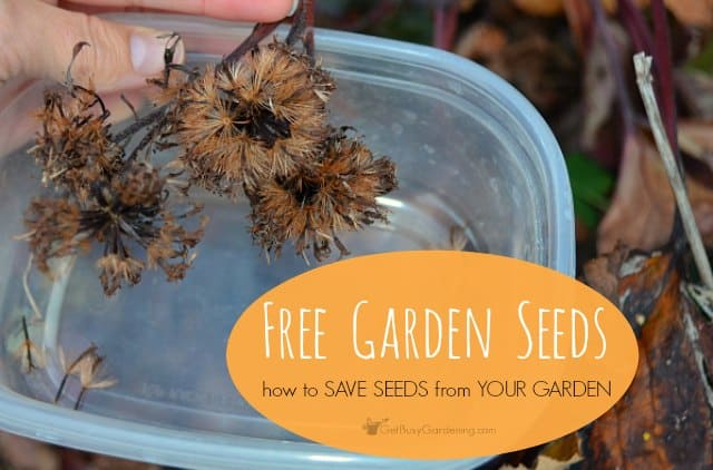 Free Garden Seeds: How To Save Seeds From Your Garden