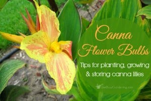 Tips for Planting, Growing and Storing Canna Lilies