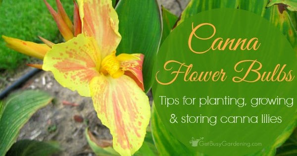 Canna flower bulbs tips for planting growing and storing canna lilies mightylinksfo