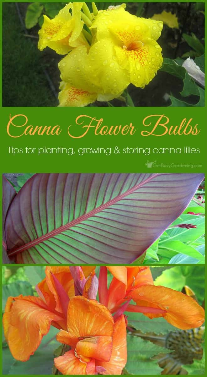 Canna Flower Bulbs Tips for Planting Growing and Storing Canna