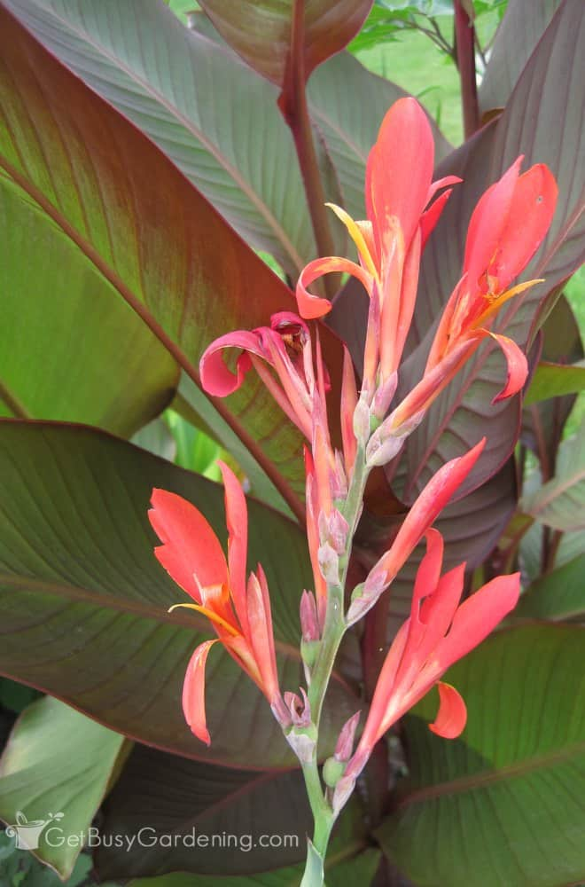 Canna lilies are beautiful, easy to grow flowers that look amazing in any garden. Plus, canna flower bulbs can be dug up and regrown year after year.