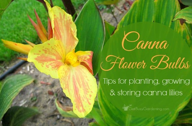 Canna flower bulbs: Tips for planting, growing and storing canna lilies