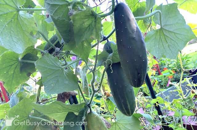 Vertical cucumbers are easier to harvest
