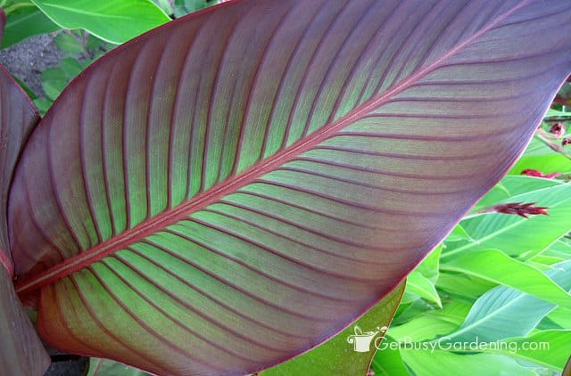 Gorgeous red canna foliage