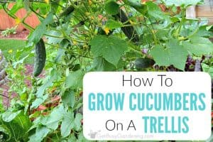 Growing Cucumbers On A Trellis