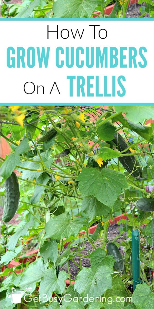 Growing cucumbers on a trellis is easy, looks awesome, and has tons of great benefits too. Learn how to grow cucumbers vertically, and get tips for growing a beautiful, healthy crop.