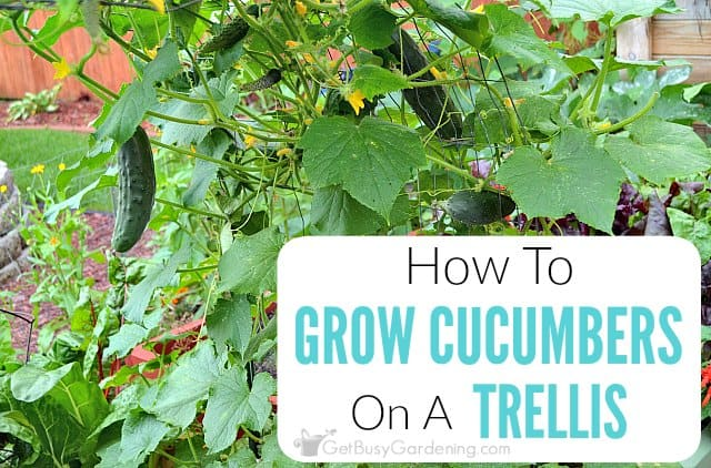 growing cucumbers on a trellis how to grow cucumbers vertically