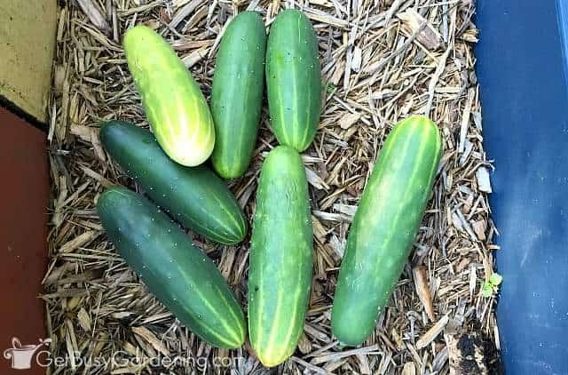 Harvesting cucumbers grown on a trellis