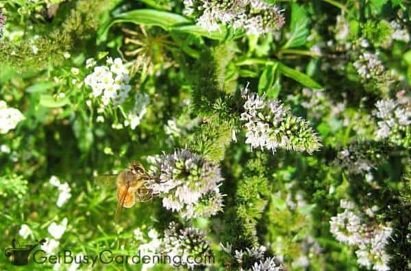 Herbs are excellent pollinator friendly plants for your vegetable garden