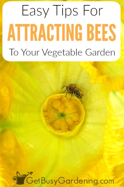 Pollinators like bees are very important for your vegetable garden. If you're vegetables aren't growing, then you may need to attract more pollinators to your garden. Learn how to attract bees to your vegetable garden with these easy tips, and get a list of flowers that attract bees to get you started.
