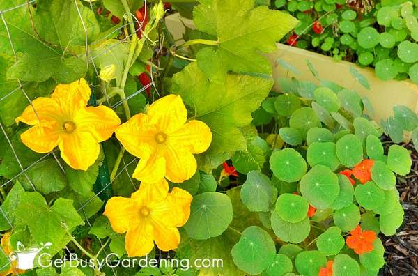 Mix pollinator garden plants with vegetables