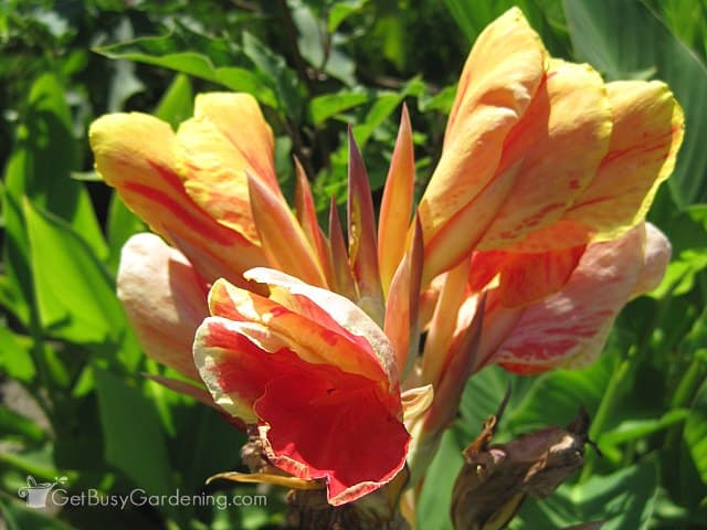 Multi colored canna lily flower