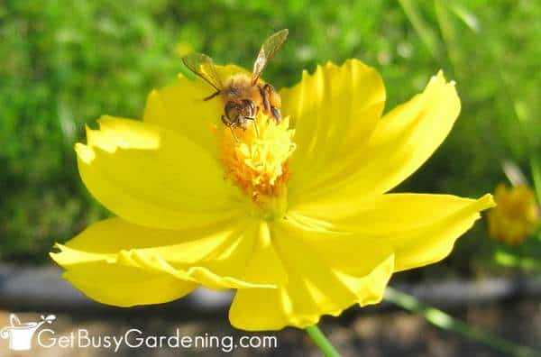 Plant flowers bees love in your vegetable garden