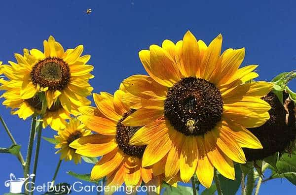 Sunflowers are one of the best flowers to attract pollinators to your garden