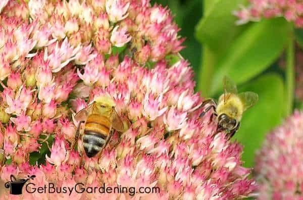 Surround your vegetable garden with flowers that attract bees